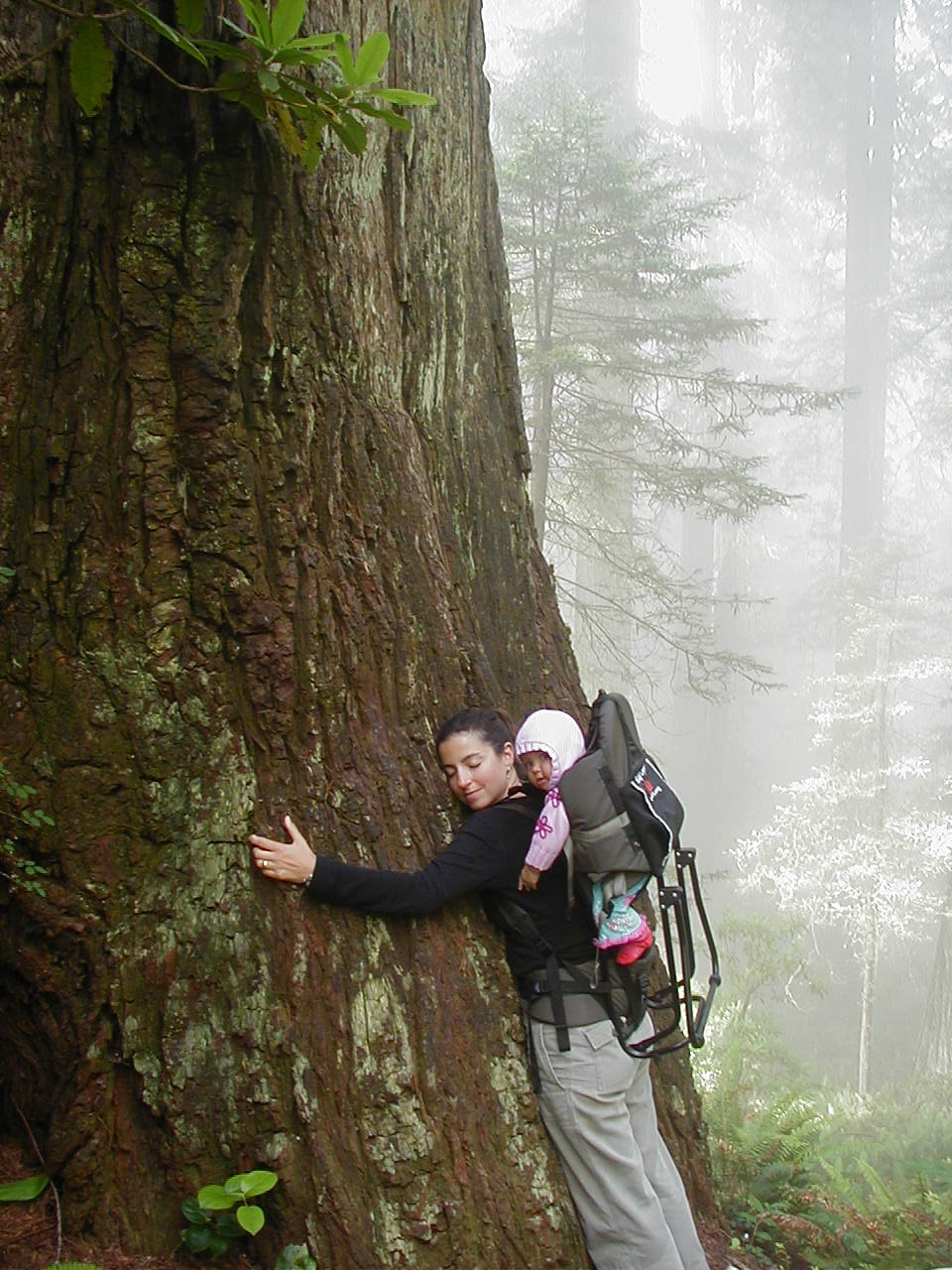 Hugging a Redwood.